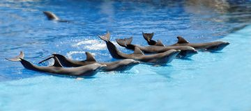 Performing dolphins. A group of performing dolphins during a zoo show Stock Image