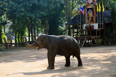 Performing Elephant Royalty Free Stock Photography