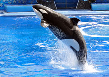 Performing Killer Whale (Orca). A performing Killer Whale (Orca) jumps  at Sea World in Orlando, Florida Stock Images