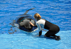 Performing Killer Whale (Orca) and Trainer. A trainer pats a performing Killer Whale (Orca) during the show at Sea World in Orlando, Florida Stock Photo