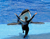 Performing Killer Whale (Orca) and Trainer. A trainer congratulates a performing Killer Whale (Orca) during the show at Sea World in Orlando, Florida Royalty Free Stock Photography