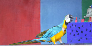Performing parrot. A colorful parrot performing a number trick Stock Photography