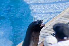 Performing sea lion Stock Photography