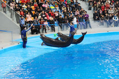 Performing Sea Lion and Trainer Stock Photos