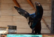 Performing sea lions Royalty Free Stock Photography
