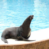 Performing seal Royalty Free Stock Images