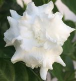 Perfume DE Gardenias Gardenia fragance Stock Foto's