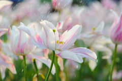 Perfume Lily. The rain in the perfume lily Stock Photography