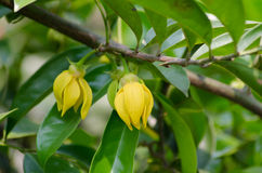 Perfume Tree. (Ylang-Ylang Flower) blooming on tree Stock Photography