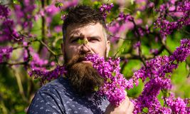 Perfumery and fragrance concept. Bearded man with fresh haircut sniffs bloom of judas tree. Man with beard and mustache. On calm face near flowers on sunny day Royalty Free Stock Image