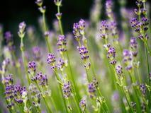 Perfumowa lawenda kwitnie w Provence polu obrazy stock