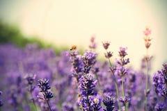 Perfumowa lawenda kwitnie w przyroscie przy polem Obrazy Stock
