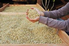 Pergaminho dos feijões de café nas mãos Foto de Stock Royalty Free