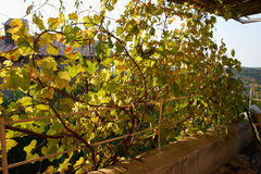Pergola covered by hanging grapevines grapes Stock Photo