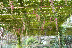 Pergola covered by hanging grapevines Royalty Free Stock Photos