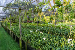 Pergola orchid in Thailand Stock Photography