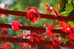 Pergola Vines. Pergola slats covered with red leafy vines Royalty Free Stock Photo