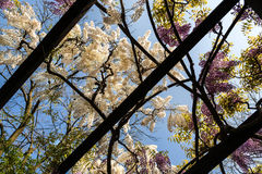 Pergola with  Wisteria. Wisteria on an arbor in a sunny garden Stock Image