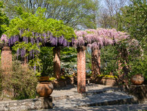 Pergola with  Wisteria. Wisteria on an arbor in a sunny garden Royalty Free Stock Photos