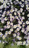 Perhaps daisies stock photography