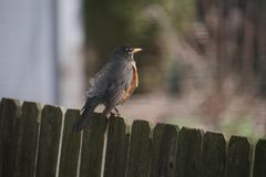 Robin Sitting on Wooden Fence stock photography