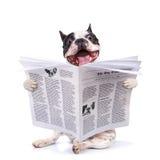 Periódico de la lectura del dogo francés Foto de archivo