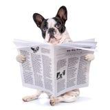 Periódico de la lectura del dogo francés Imagenes de archivo