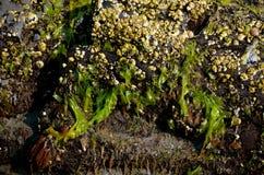 Peri winkles przy wino plażą w lecie Zdjęcia Royalty Free