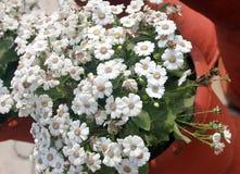 Pericallis hybrida 'Jester Pure White' Royalty Free Stock Image