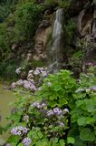 Pericallis webbii and waterfall. Viera y Clavijo Botanic Garden. Tafira. Las Palmas de Gran Canaria. Gran Canaria. Canary Islands. Spain Stock Photography