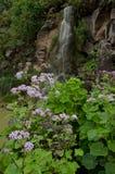 Pericallis webbii and waterfall. Viera y Clavijo Botanic Garden. Tafira. Las Palmas de Gran Canaria. Gran Canaria. Canary Islands. Spain Royalty Free Stock Images