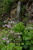 Pericallis webbii and waterfall. Viera y Clavijo Botanic Garden. Tafira. Las Palmas de Gran Canaria. Gran Canaria. Canary Islands. Spain Stock Images