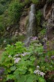 Pericallis webbii and waterfall. Viera y Clavijo Botanic Garden. Tafira. Las Palmas de Gran Canaria. Gran Canaria. Canary Islands. Spain royalty free stock photo