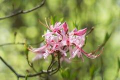 Periclymenoides del rododendro de la flor de Pinxter imágenes de archivo libres de regalías