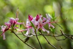 Periclymenoides del rododendro de la flor de Pinxter imagen de archivo