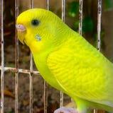 Perico Amarillo zdjęcia stock