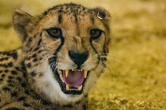 Pericolosamente sembrare ghepardo arrabbiato che mostra i suoi denti immagini stock