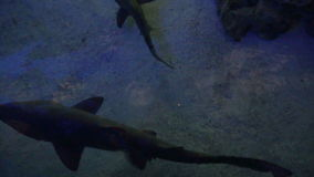 pericoloso Destra di nuotate dello squalo al di sotto dei vostri piedi archivi video