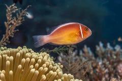 Perideraion Amphiprion, ρόδινη μεφίτιδα clownfish, ρόδινο anemonefish, Στοκ Εικόνες