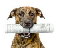 Periódico que lleva del perro Aislado en el fondo blanco Imágenes de archivo libres de regalías