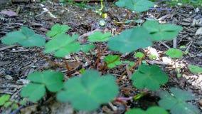 Peridotväxter av släktet Trifolium Arkivbild