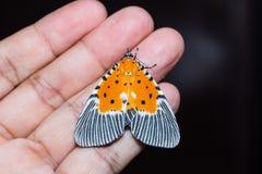 Peridrome orbicularis moth Royalty Free Stock Image