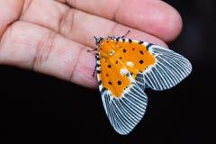 Peridrome-orbicularis Motte Lizenzfreies Stockbild