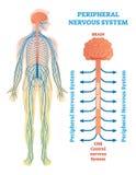 Perifer nervsystem, medicinskt vektorillustrationdiagram med hjärnan, ryggmärg och nerver vektor illustrationer