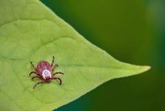 Perigo da mordida do tiquetaque Ácaro do parasita que senta-se em uma folha verde fotos de stock royalty free