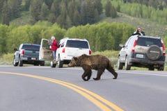 Perigo de cruzamento do urso pardo Fotografia de Stock