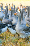 Perigord geese Stock Photos