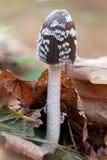 Perigoso Inedible aos cogumelos da saúde Imagens de Stock Royalty Free