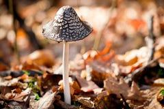 Perigoso Inedible aos cogumelos da saúde Foto de Stock Royalty Free