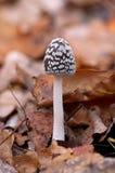 Perigoso Inedible aos cogumelos da saúde Fotografia de Stock Royalty Free
